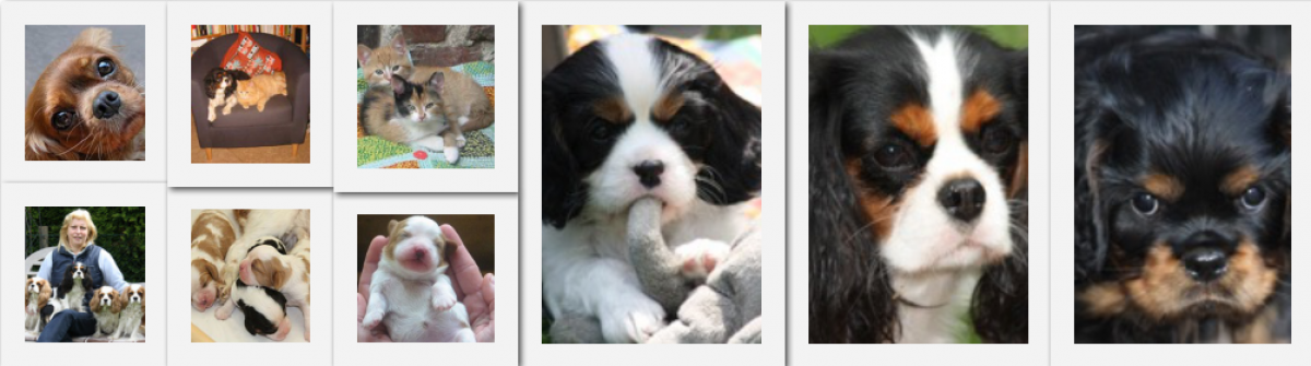 "Cavalier-King-Charles Spaniels ""of Millcreek-Cottage"""